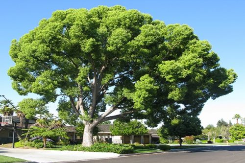 Camphor tree images