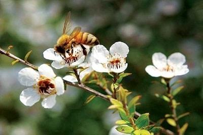 Manuka best honey