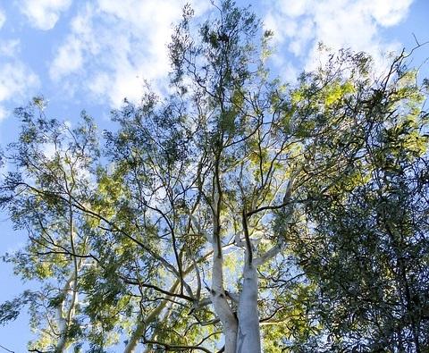 यूकेलिप्टस-का-पेड़