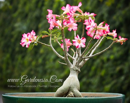 Adenium or Desert rose plant india