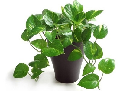 Money Plant or Devil's ivy India