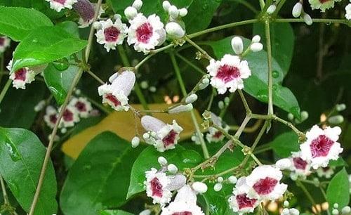Gandhaprasarni flower